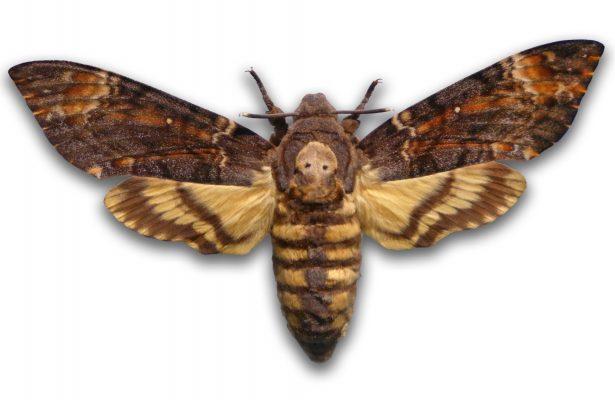EBKYG2 death's-head hawkmoth (Acherontia atropos), stuffed death?s-head hawkmoth
