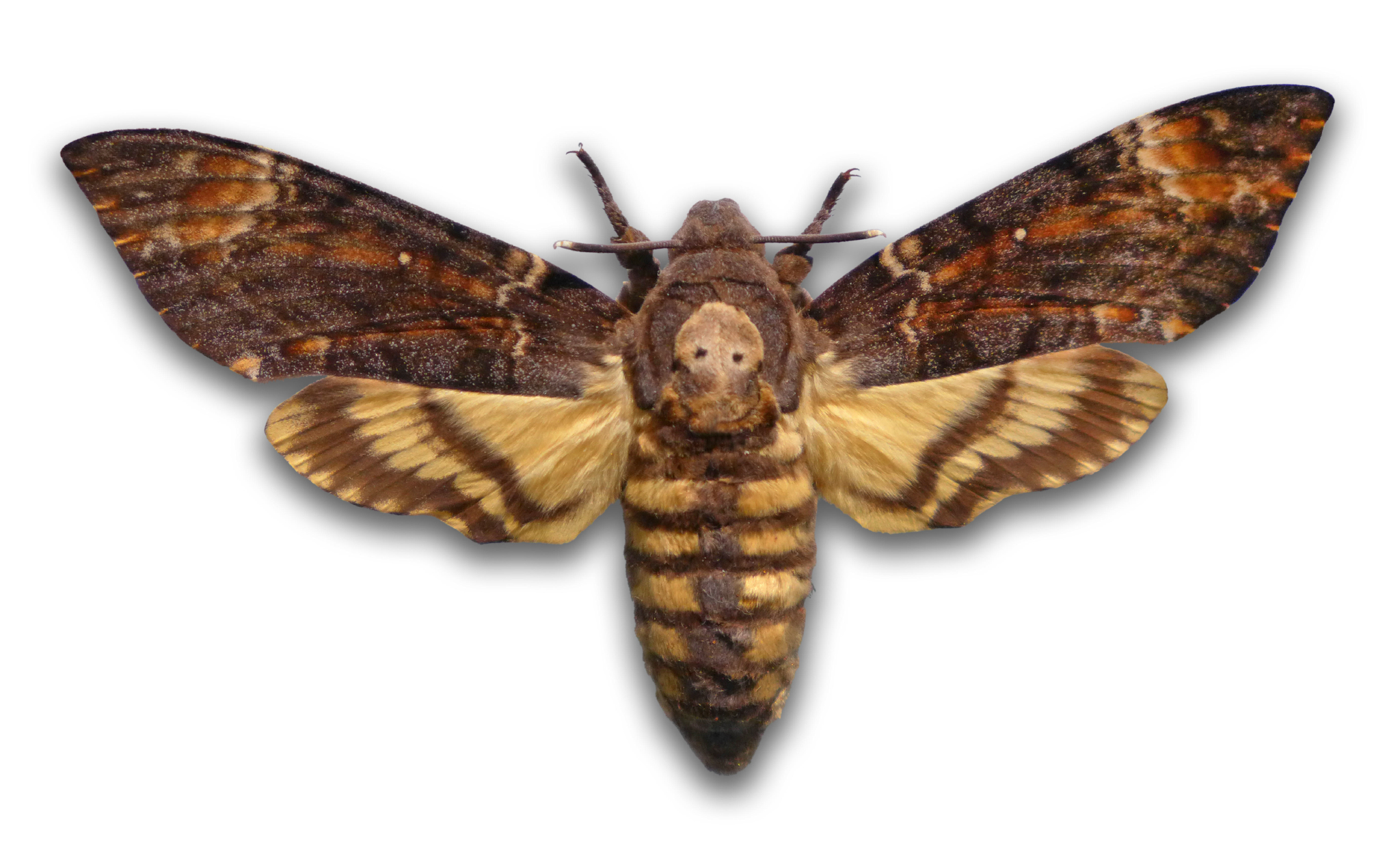 EBKYG2 death's-head hawkmoth (Acherontia atropos), stuffed death?s-head hawkmoth